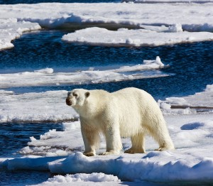 An adult male polar bear on sea ice in the Arctic Ocean north of Svalbard, near 81-degrees North.