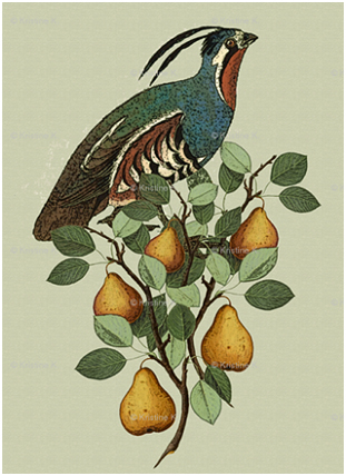 partridge-in-a-pear-tree