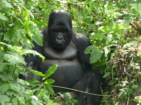 r-gorilla1.jpg