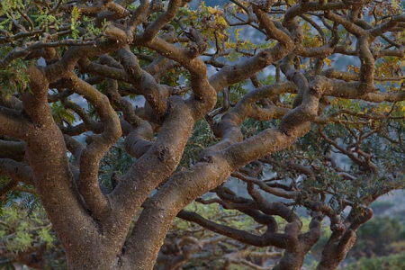 soc_frankincense_tree.png