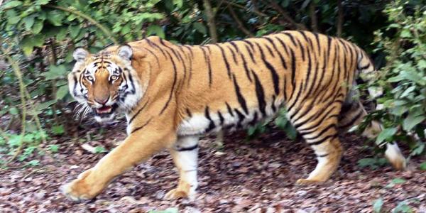 tigers-in-kaziranga