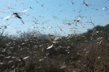 locust-swarm