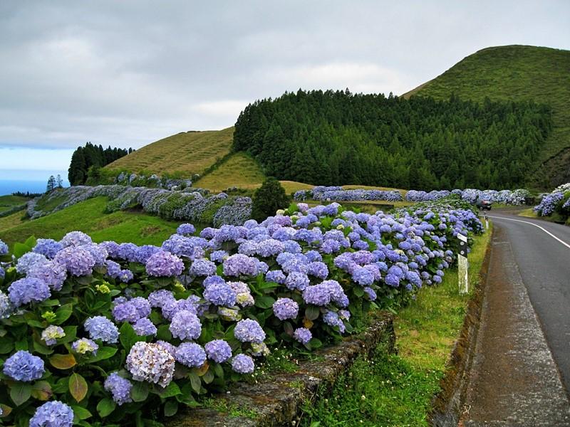 azores-flowers