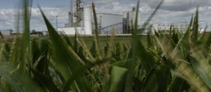 corn-plantation