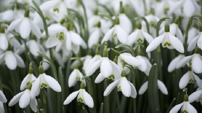 snowdrop-flower