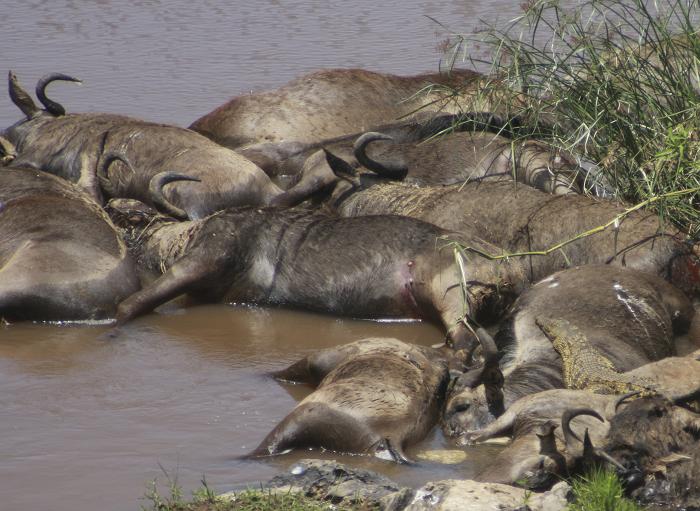 dead-wildebeest