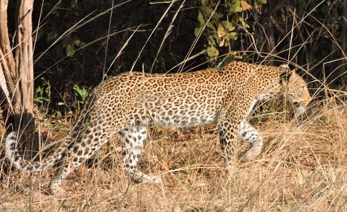 leopard-on-prowl