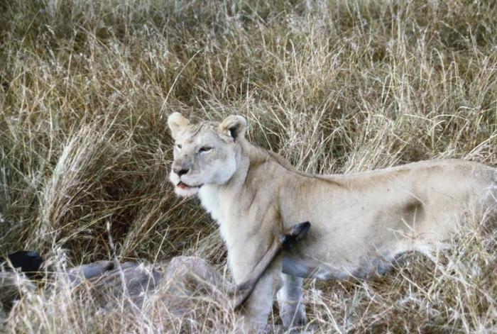 lion-on-wildebeest