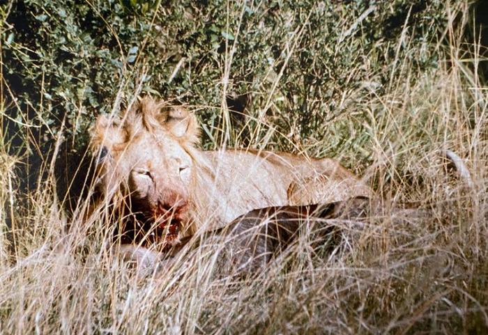 lion-on-wildebeest2