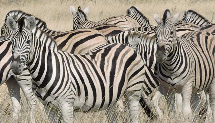 zeal-of-zebras