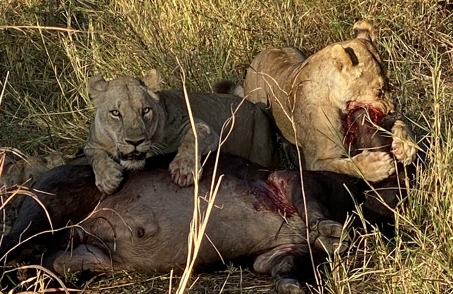 lions-feasting