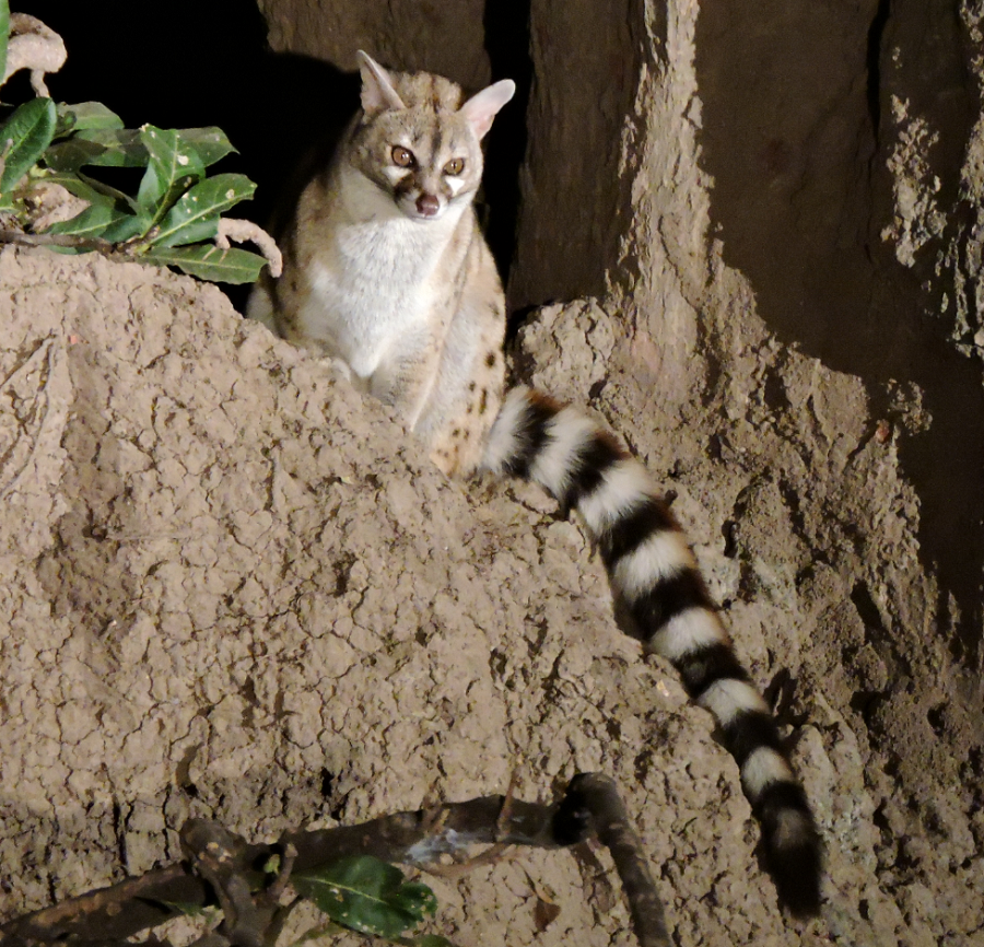 spotted-rig-tailed-genet